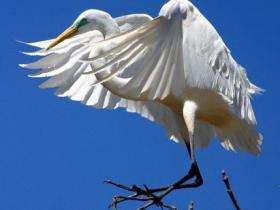 Great Egret3