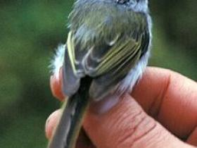 Rufous-browed Tyrannulet4