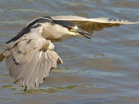 Black-crowned Night-Heron4