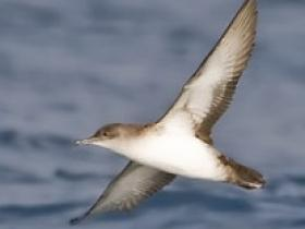 Black-vented Shearwater4