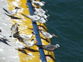 terns and gulls