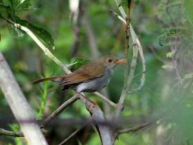 Orange-billed Nightingale-Thrush4