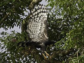 Crested Eagle4