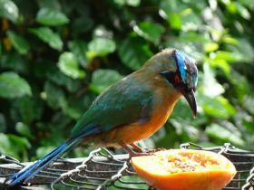 Blue-crowned Motmot2