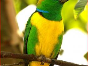 Golden-browed Chlorophonia2