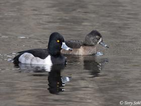 Ring-necked Duck4