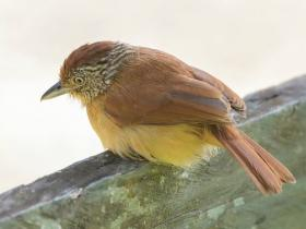 Barred Antshrike2