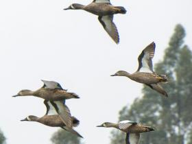 Blue-winged Teal3