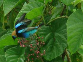 Golden-hooded Tanager3