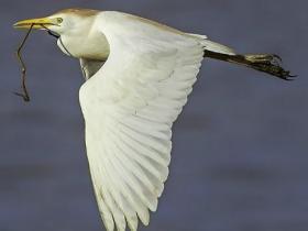 Cattle Egret3