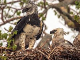Harpy Eagle3