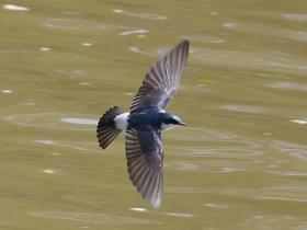 Mangrove Swallow3