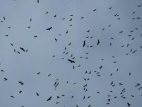 migrating raptors