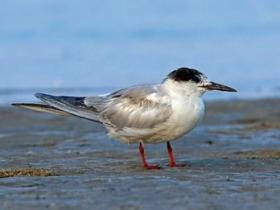 Forsters Tern2