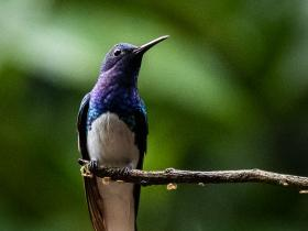 White-necked Jacobin (002)