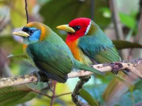 Red-headed Barbet4