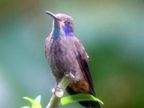 Brown Violetear3