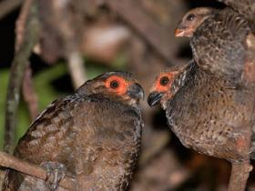Marbled Wood-Quail2