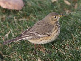 American Pipit4