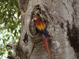 Scarlet Macaw2