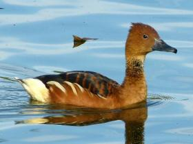 Fulvous Whistling-Duck3