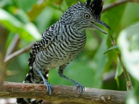 Barred Antshrike3