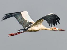 Maguari Stork3