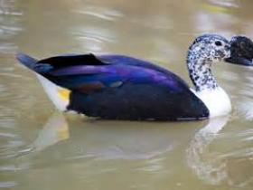 Comb Duck4