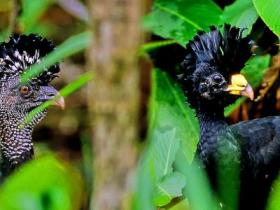 Great Curassow3