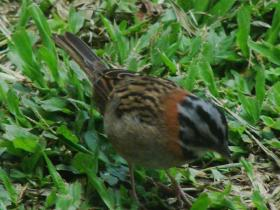 Rufous-collared Sparrow3