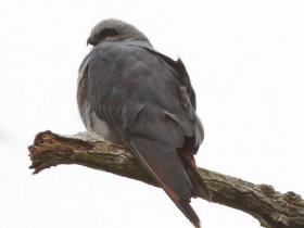 Plumbeous Kite2