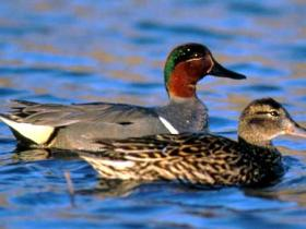 Green-winged Teal2