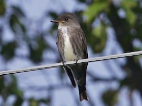 Olive-sided Flycatcher2
