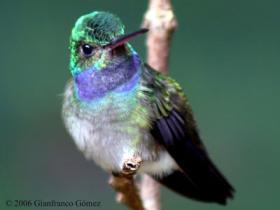 Charming Hummingbird2