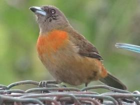 Cherries Tanager female2