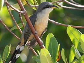 Mangrove Cuckoo3