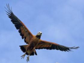 Black-collared Hawk2
