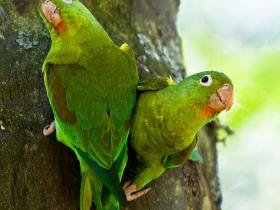 Orange-chinned Parakeet4