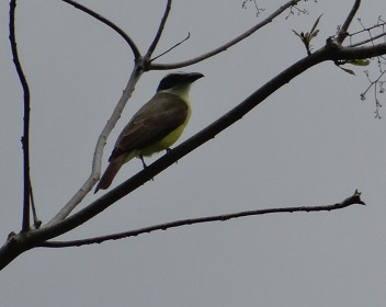 Boat-billed Flycatcher2