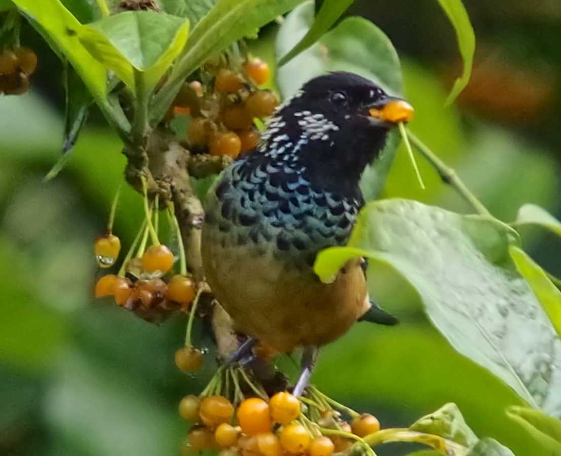 Spangled-cheeked Tanager