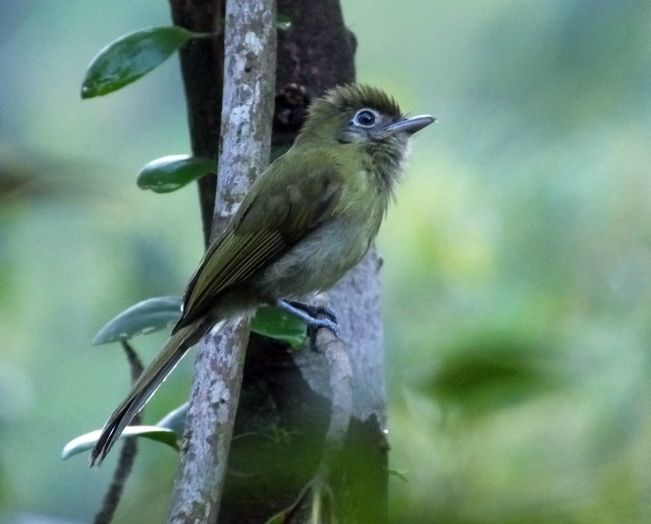 eye ringed flatbill